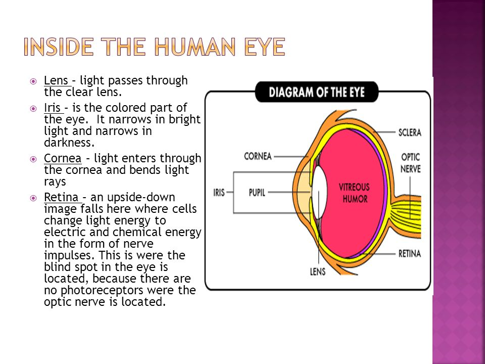 Inside the human eye Lens – light passes through the clear lens.