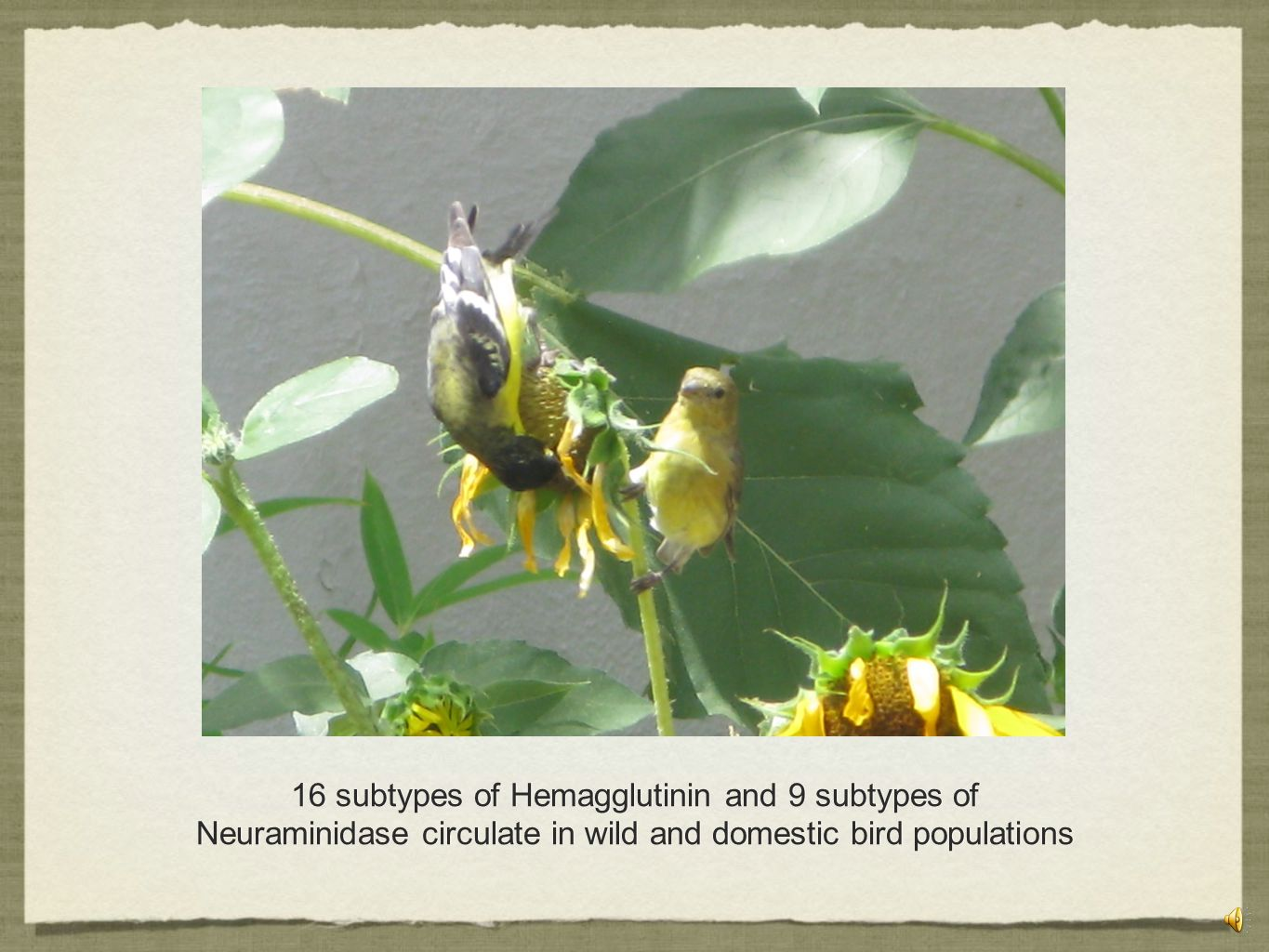 16 subtypes of Hemagglutinin and 9 subtypes of Neuraminidase circulate in wild and domestic bird populations