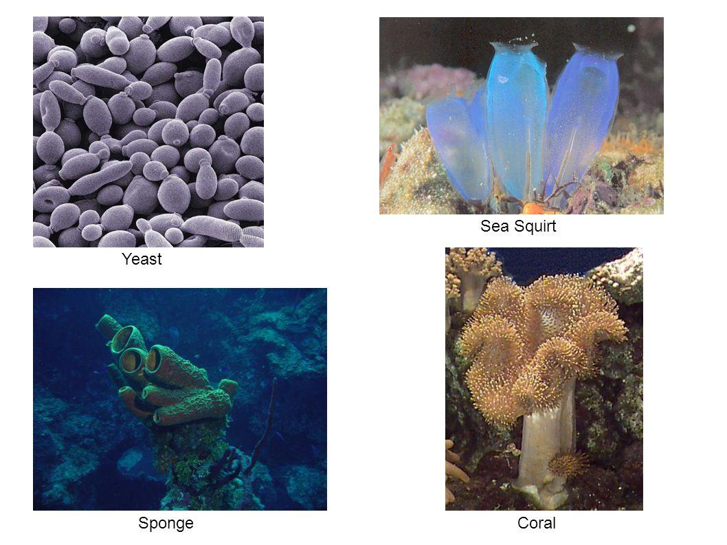Sea Squirt Yeast Sponge Coral