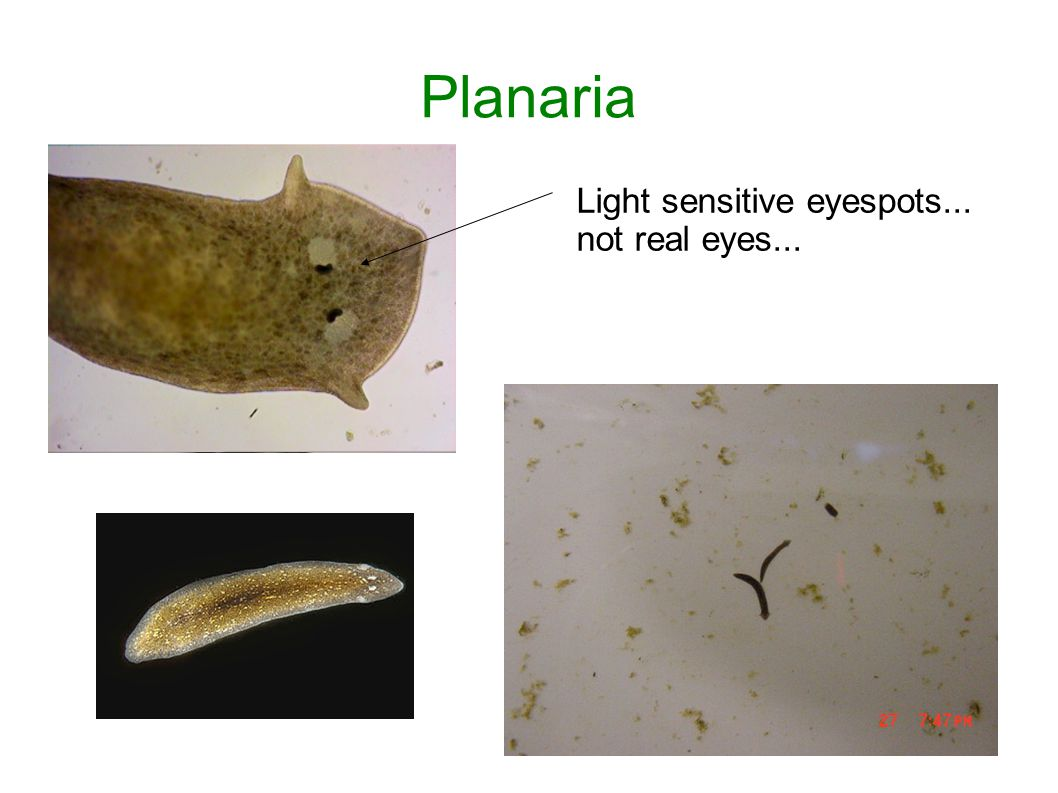 Planaria Light sensitive eyespots... not real eyes...