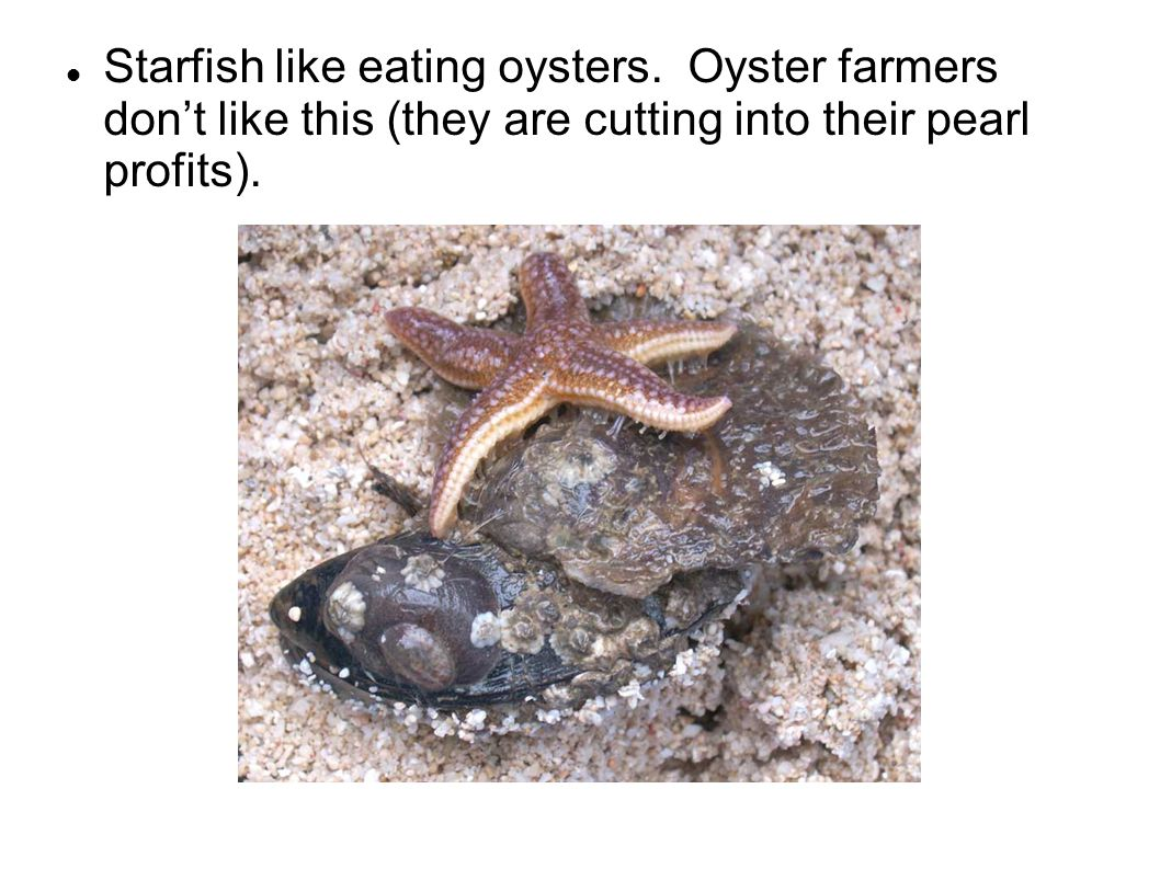 Starfish like eating oysters