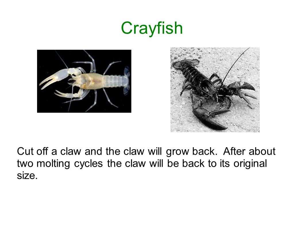 Crayfish Cut off a claw and the claw will grow back.