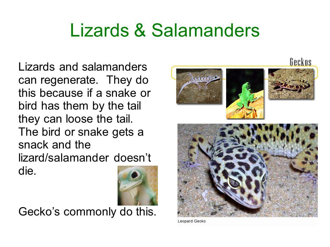 Lizards & Salamanders