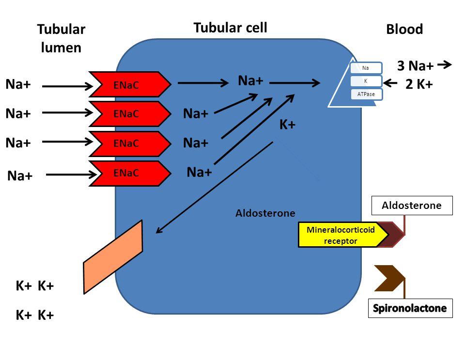 Mineralocorticoid receptor