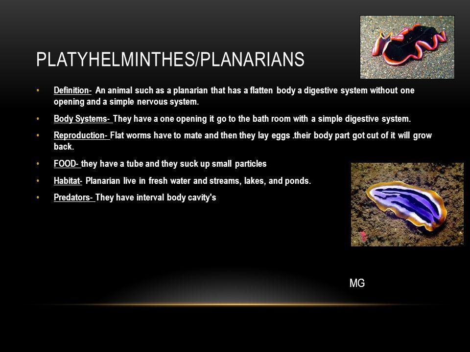 Platyhelminthes/planarians