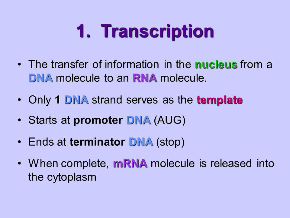 1. Transcription The transfer of information in the nucleus from a DNA molecule to an RNA molecule.