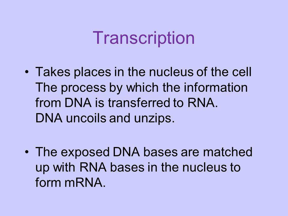 Transcription Takes places in the nucleus of the cell The process by which the information from DNA is transferred to RNA. DNA uncoils and unzips.