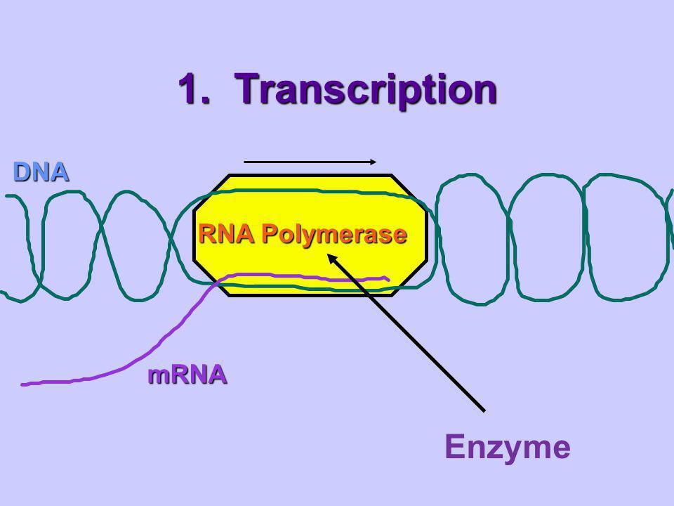1. Transcription DNA mRNA RNA Polymerase Enzyme