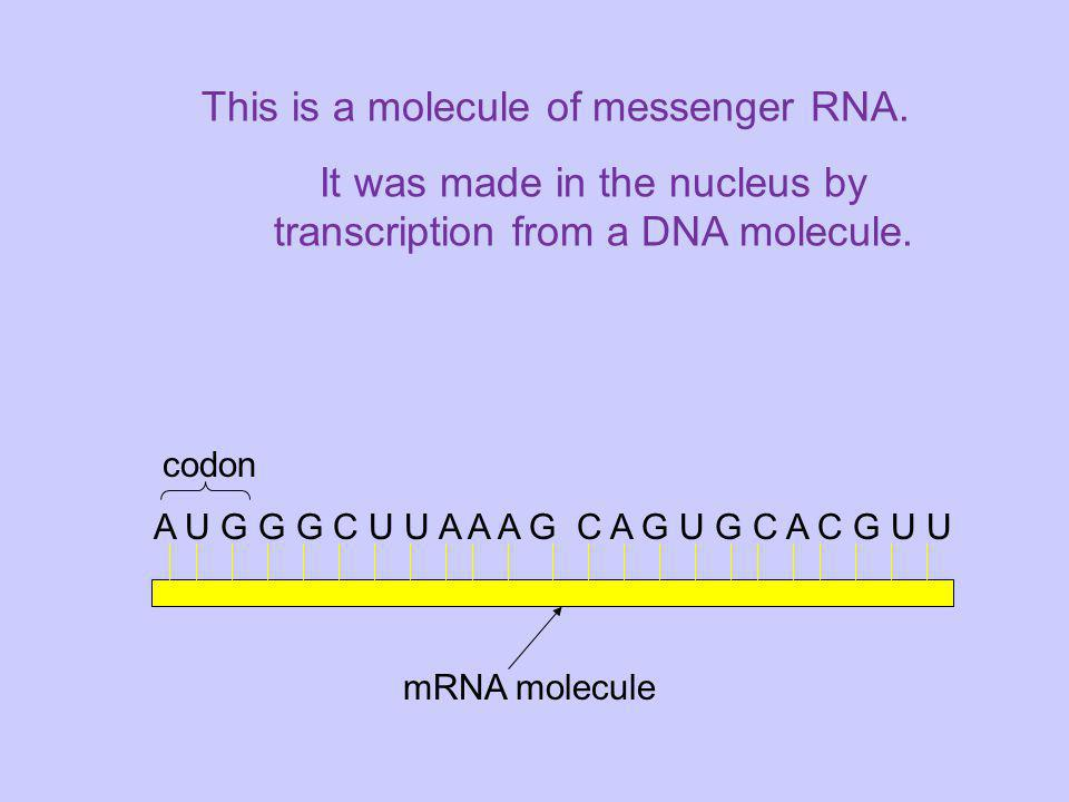 It was made in the nucleus by transcription from a DNA molecule.