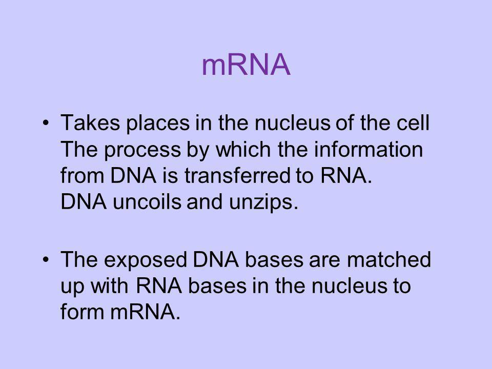 mRNA Takes places in the nucleus of the cell The process by which the information from DNA is transferred to RNA. DNA uncoils and unzips.