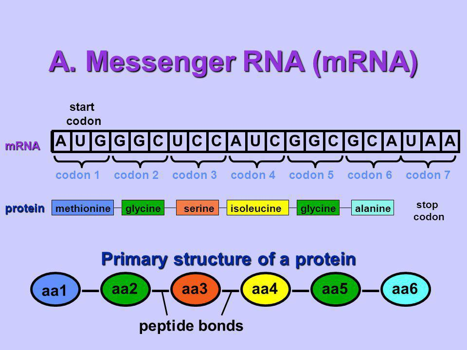 A. Messenger RNA (mRNA) Primary structure of a protein A U G C aa1 aa2