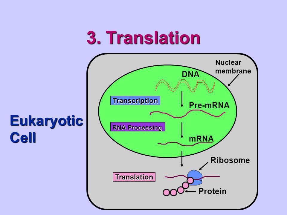 3. Translation Eukaryotic Cell DNA Pre-mRNA mRNA Ribosome Protein
