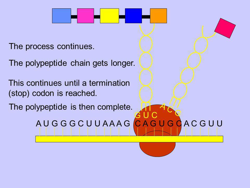 A C G G U C. The process continues. The polypeptide chain gets longer. This continues until a termination (stop) codon is reached.