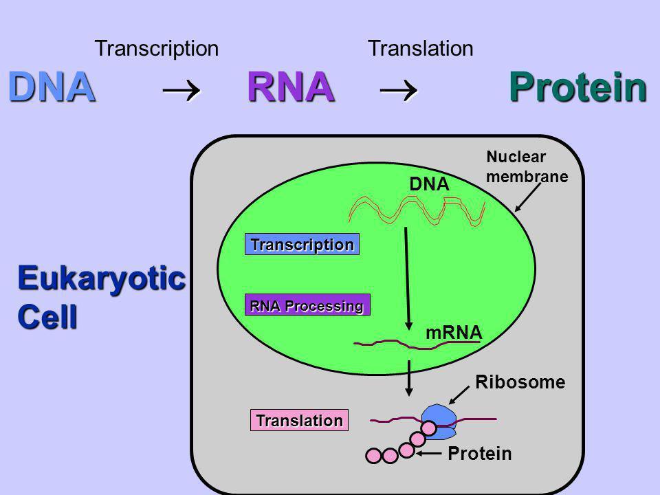 DNA  RNA  Protein Eukaryotic Cell Transcription Translation DNA mRNA