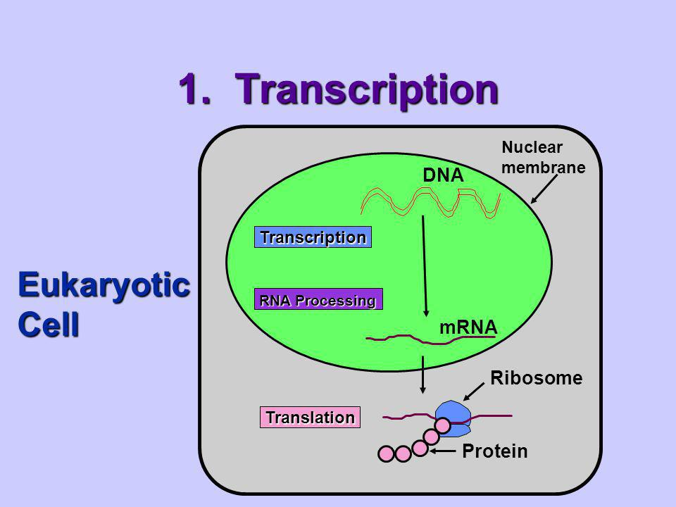 1. Transcription Eukaryotic Cell DNA mRNA Ribosome Protein Nuclear