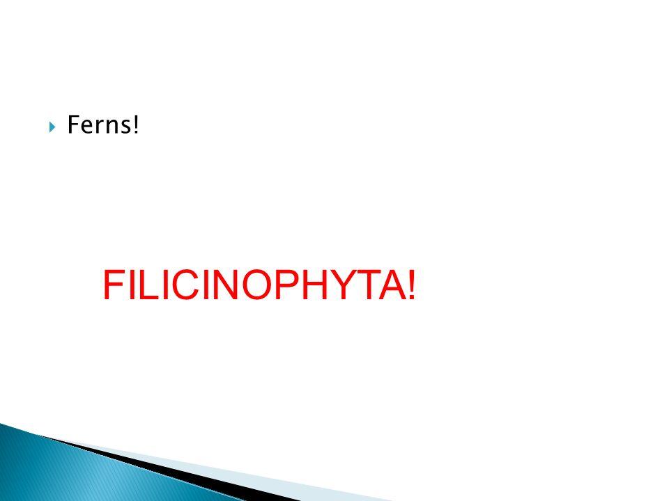 Ferns! FILICINOPHYTA!