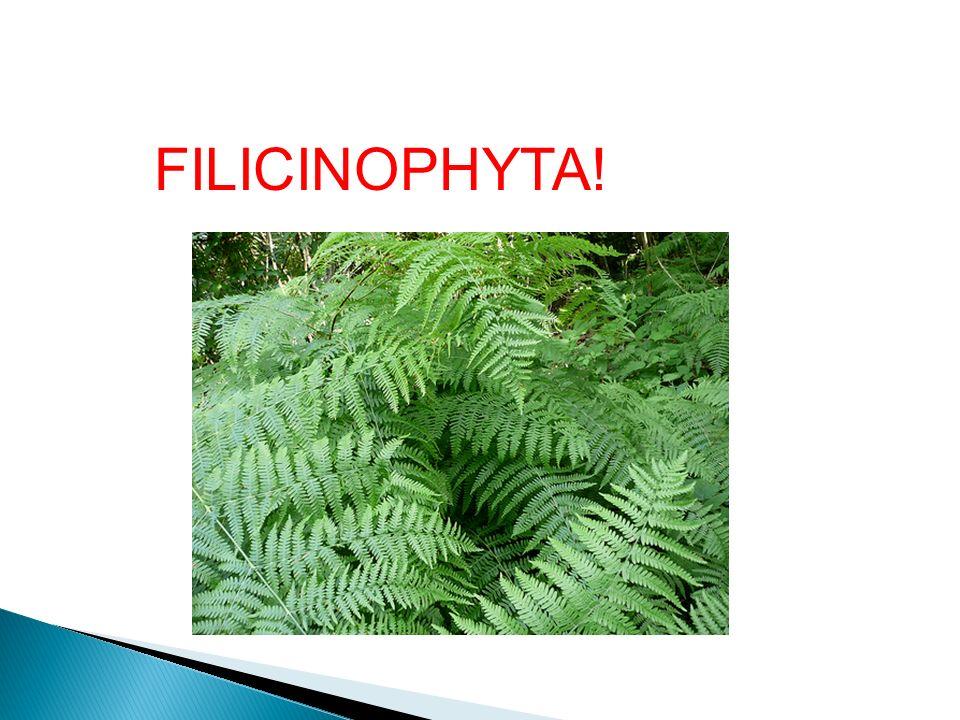 FILICINOPHYTA!