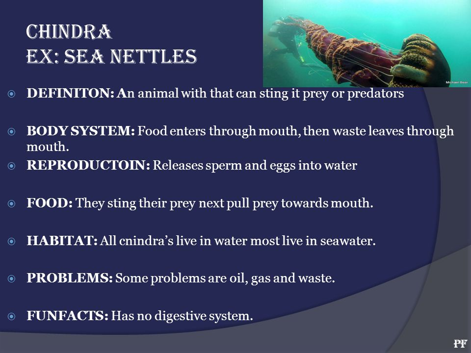 CHINDRA EX: SEA NETTLES