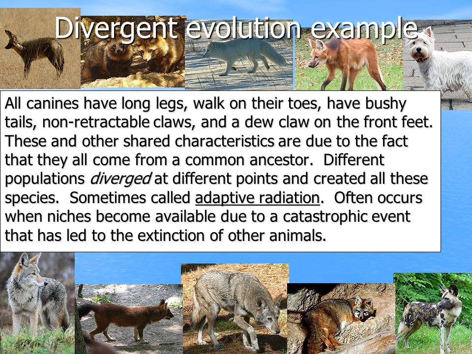 Divergent evolution example