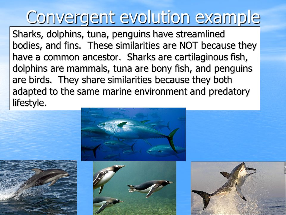 Convergent evolution example