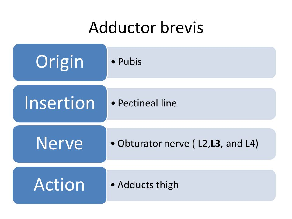 Origin Insertion Nerve Action Adductor brevis Pubis Pectineal line