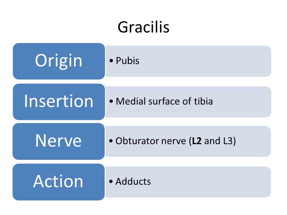 Origin Insertion Nerve Action Gracilis Pubis Medial surface of tibia
