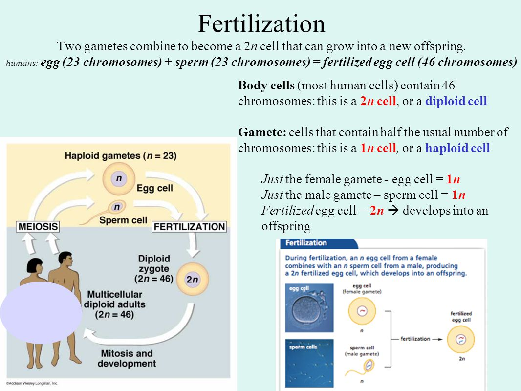 Fertilization Two gametes combine to become a 2n cell that can grow into a new offspring. humans: egg (23 chromosomes) + sperm (23 chromosomes) = fertilized egg cell (46 chromosomes)