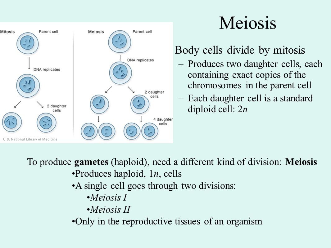 Meiosis Body cells divide by mitosis
