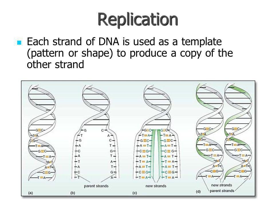 Replication Each strand of DNA is used as a template (pattern or shape) to produce a copy of the other strand.