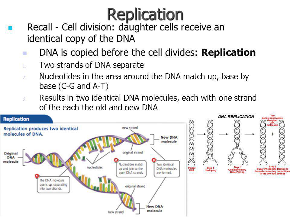 Replication Recall - Cell division: daughter cells receive an identical copy of the DNA. DNA is copied before the cell divides: Replication.