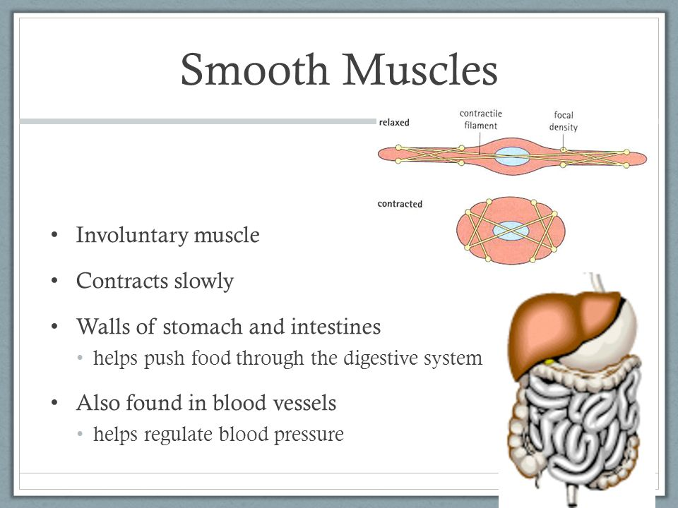 Smooth Muscles Involuntary muscle Contracts slowly