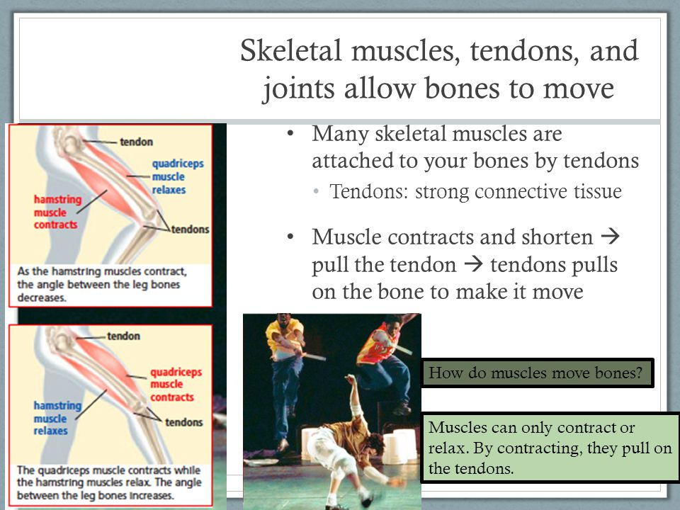 Skeletal muscles, tendons, and joints allow bones to move