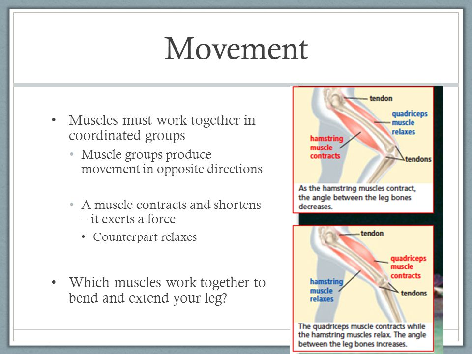 Movement Muscles must work together in coordinated groups