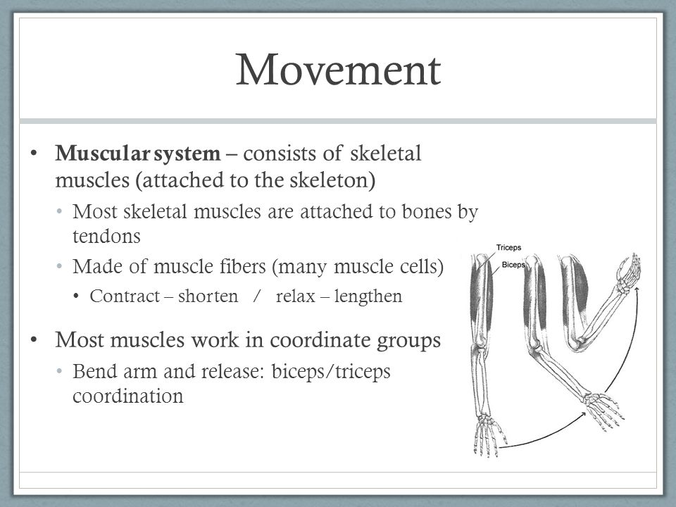 Movement Muscular system – consists of skeletal muscles (attached to the skeleton) Most skeletal muscles are attached to bones by tendons.