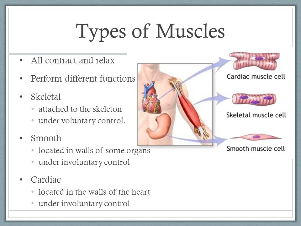 Types of Muscles All contract and relax Perform different functions