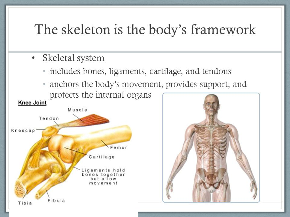 The skeleton is the body's framework