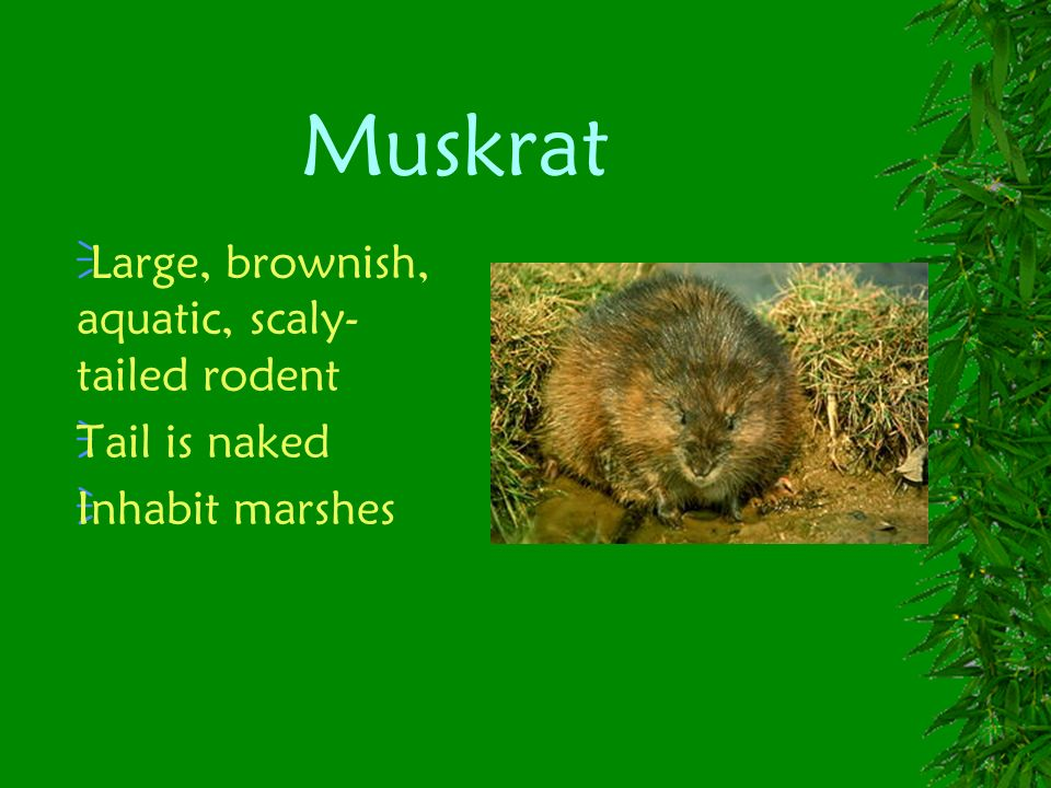Muskrat Large, brownish, aquatic, scaly-tailed rodent Tail is naked