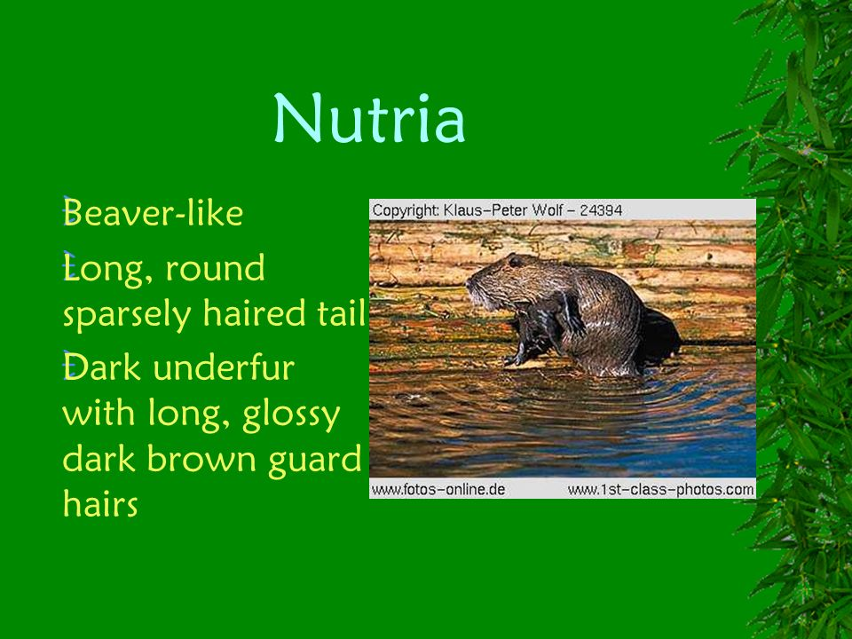 Nutria Beaver-like Long, round sparsely haired tail