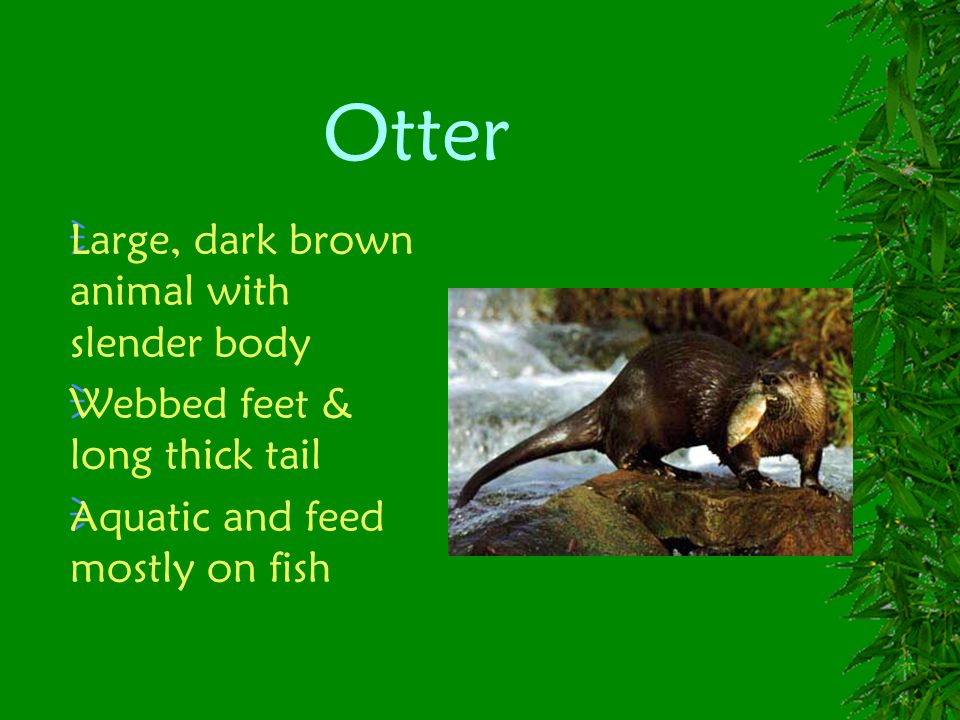 Otter Large, dark brown animal with slender body