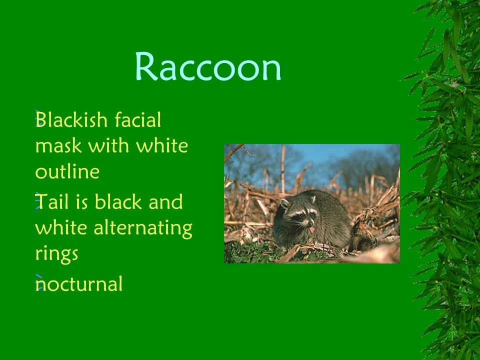 Raccoon Blackish facial mask with white outline