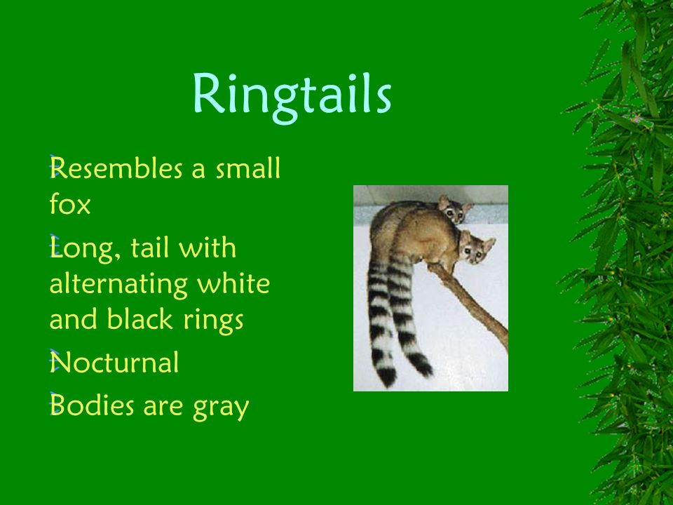 Ringtails Resembles a small fox