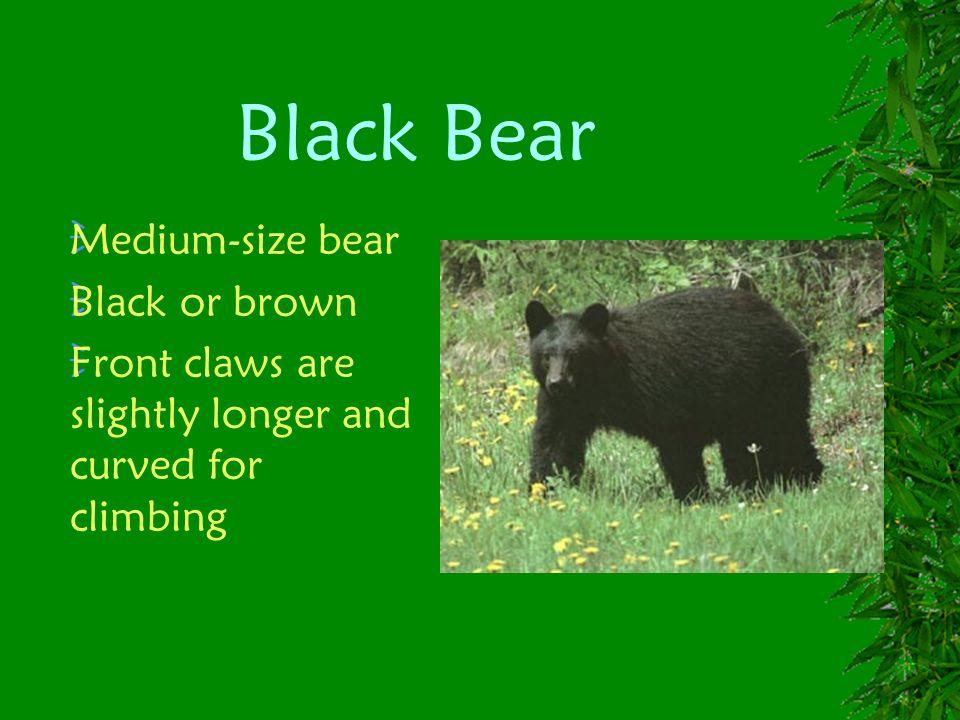Black Bear Medium-size bear Black or brown