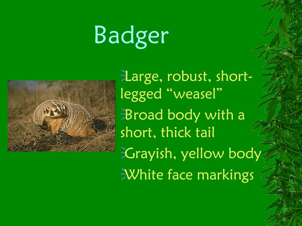 Badger Large, robust, short-legged weasel