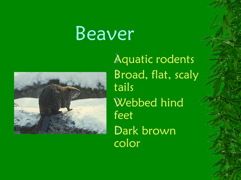 Beaver Aquatic rodents Broad, flat, scaly tails Webbed hind feet
