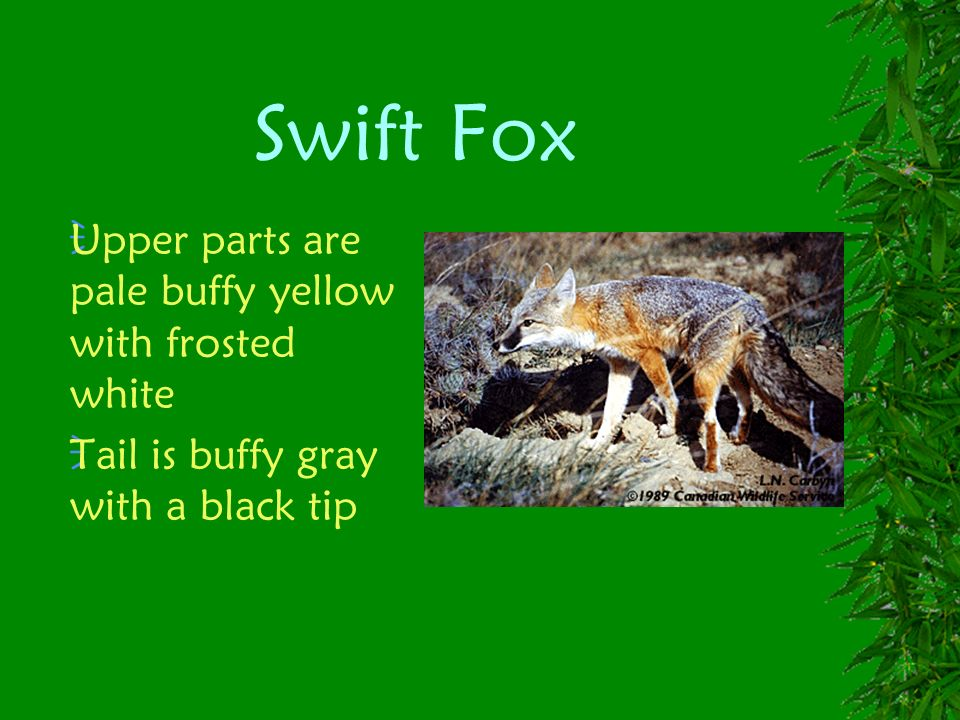 Swift Fox Upper parts are pale buffy yellow with frosted white