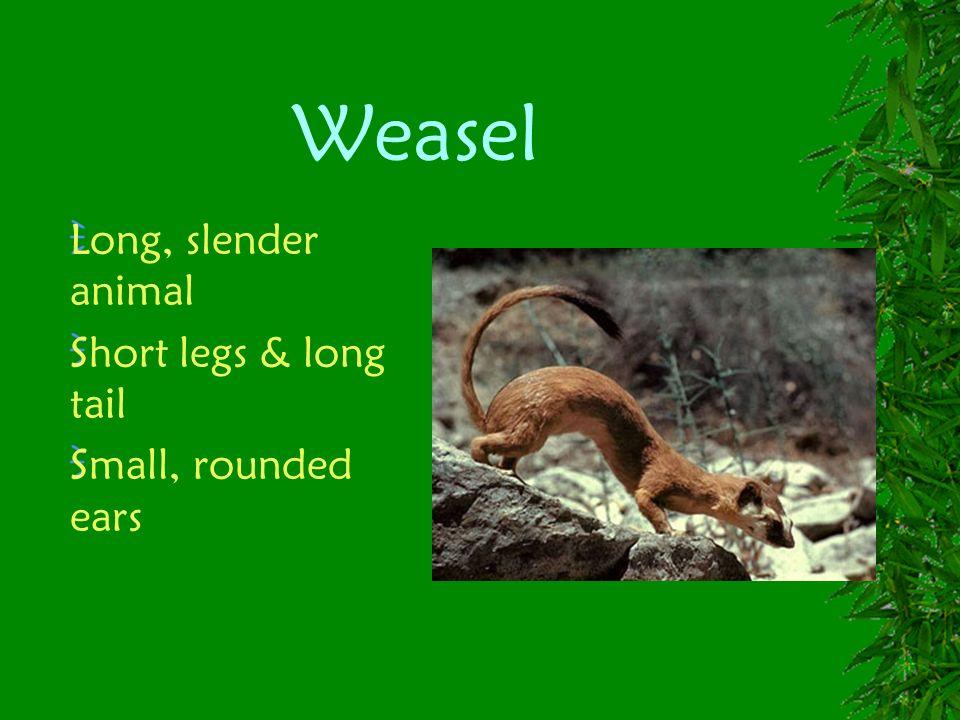 Weasel Long, slender animal Short legs & long tail Small, rounded ears