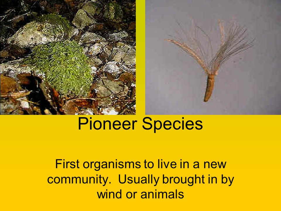 Pioneer Species First organisms to live in a new community. Usually brought in by wind or animals