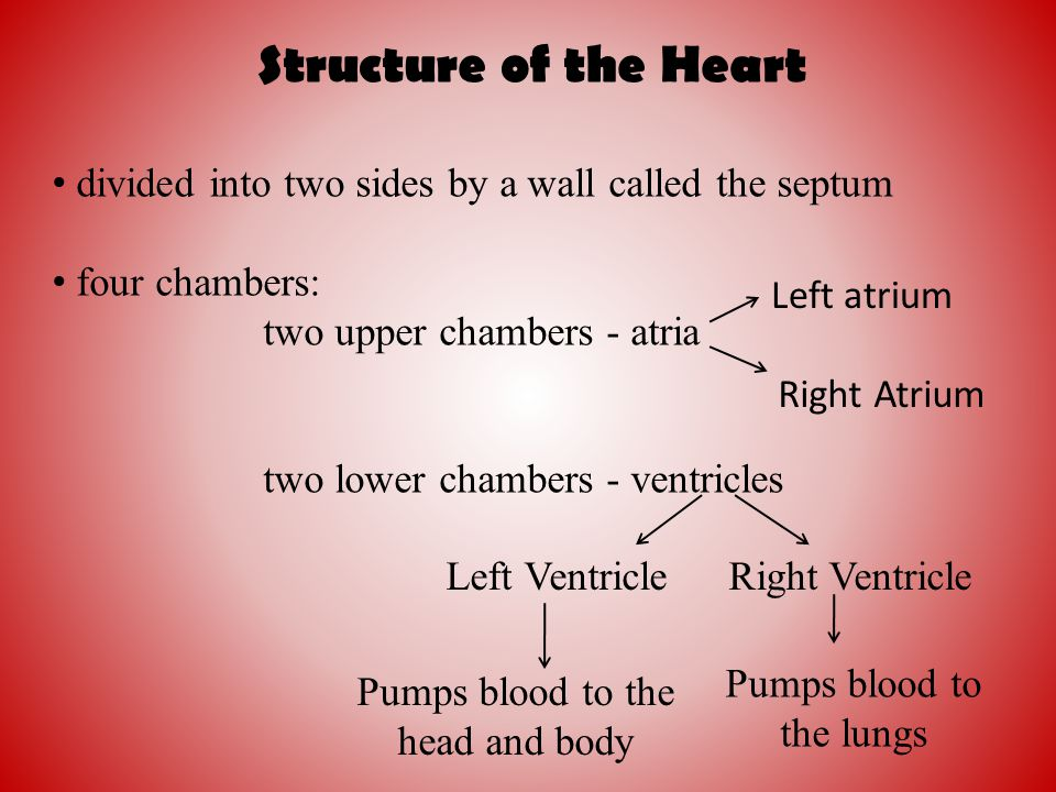 Structure of the Heart divided into two sides by a wall called the septum. four chambers: two upper chambers - atria.