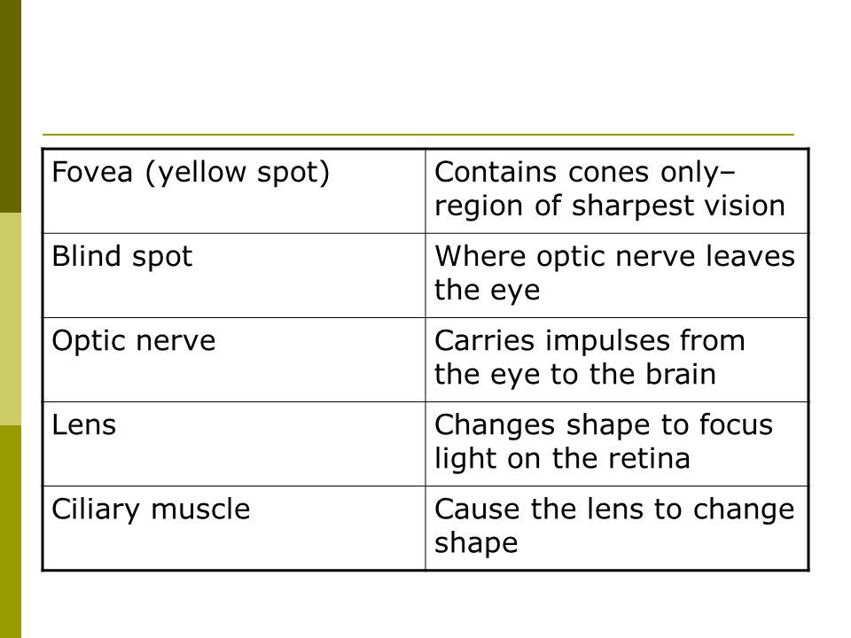 Fovea (yellow spot) Contains cones only– region of sharpest vision. Blind spot. Where optic nerve leaves the eye.