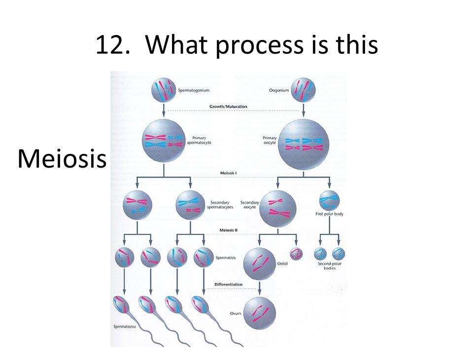 12. What process is this Meiosis